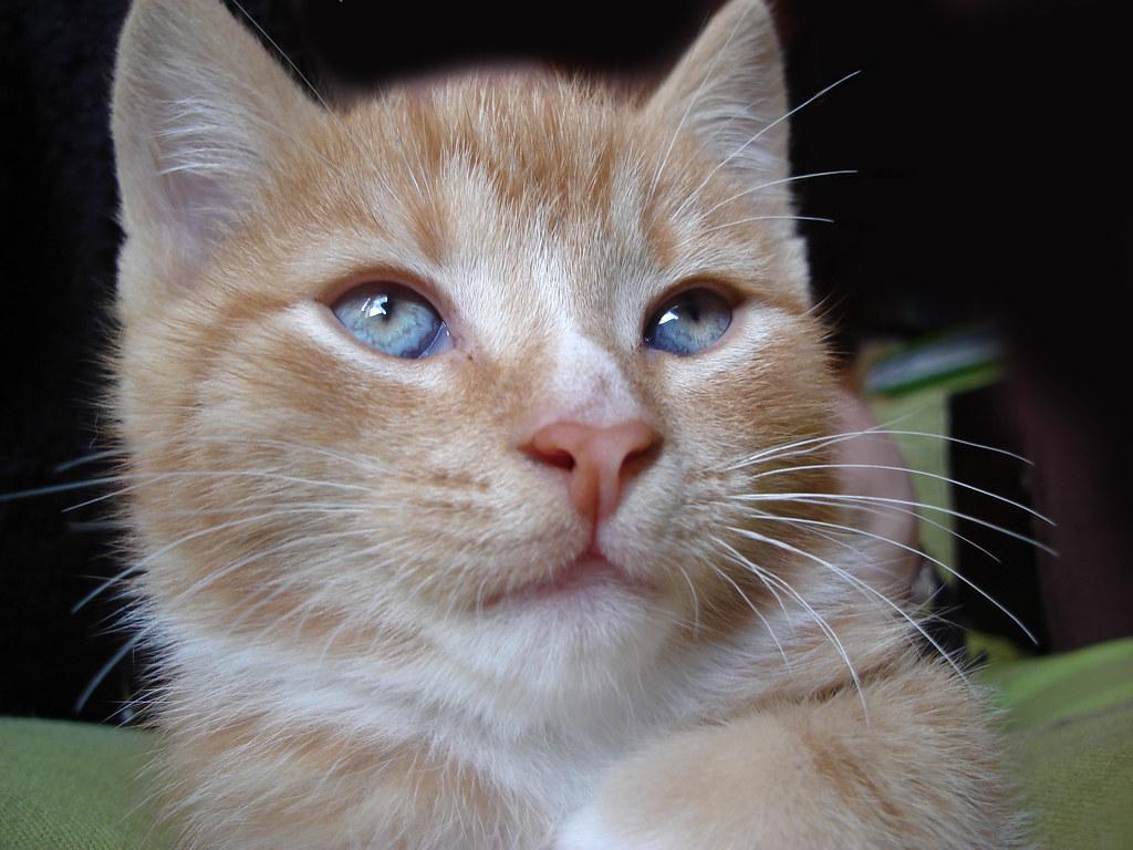 foster kitten Randi