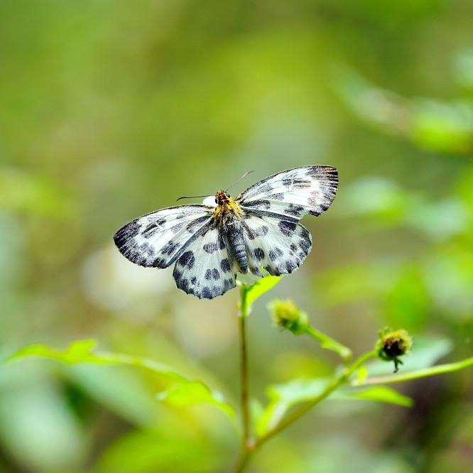 白弄蝶屬白弄蝶14S101