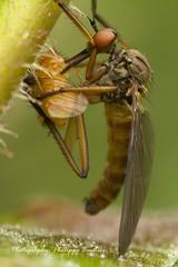 Suck 'em dry - robbe fly