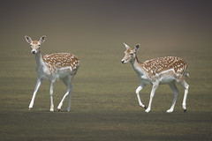 two fallow deer with a smooth backdrop