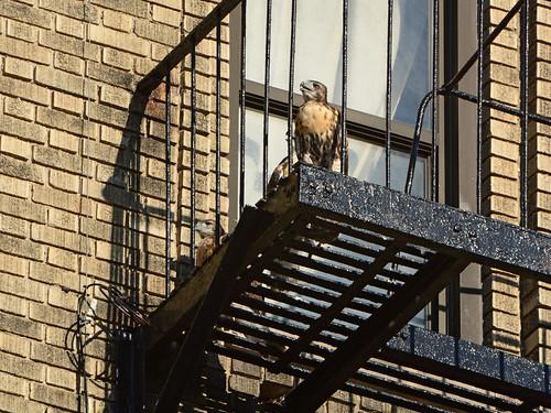 JHW Hawk Nestling (1950)
