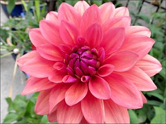 Another dahlia
