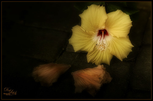 Image of a Yellow Hibiscus blossom and two spend peach blossoms