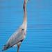Great Blue Heron by Brian E Kushner
