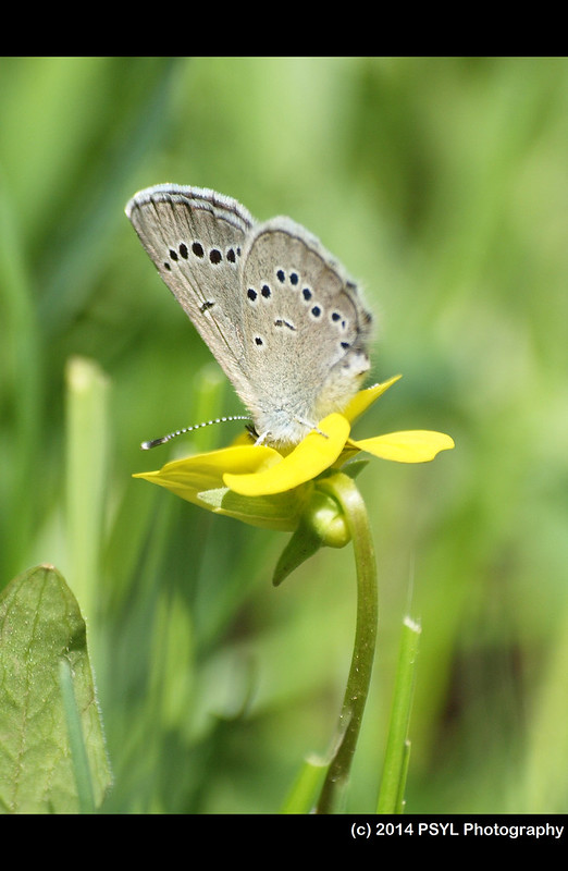 Silvery Blue Butterfly (Glaucopsyche lygdamus) visiting Viola vallicola