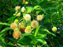 Black Tupelo Blossoms