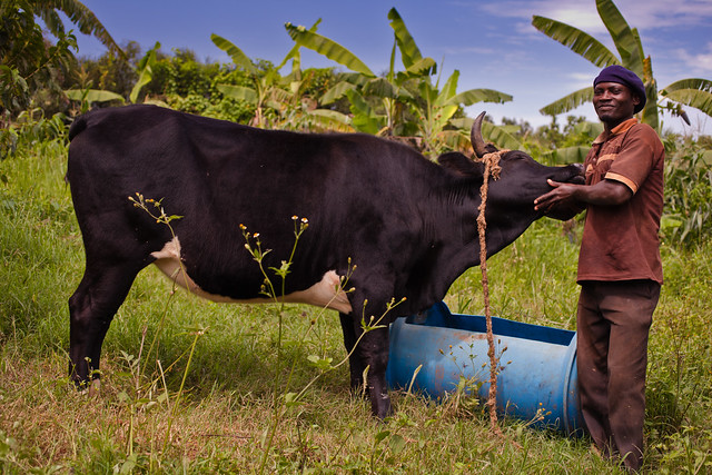 Rub a cow on his neck, he'll love it | Uganda