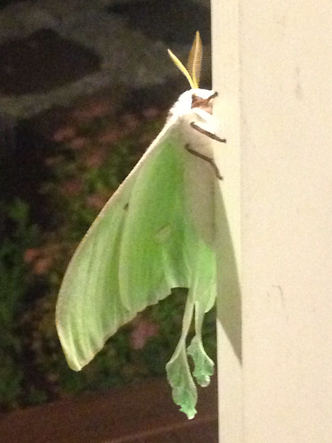 Luna moth on front porch. Roughly the size of a condor. So huge.