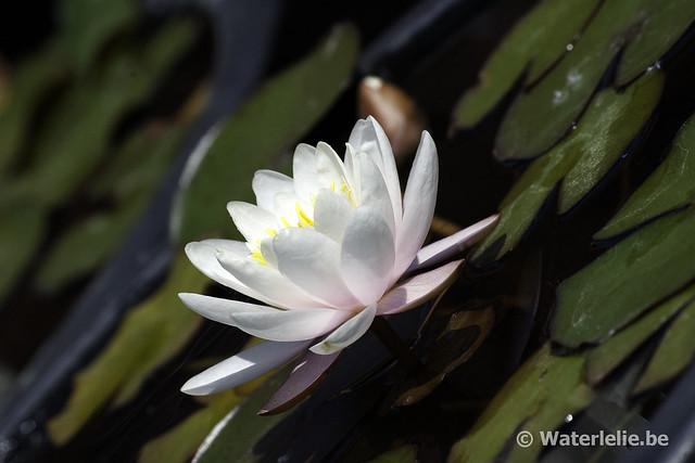 Waterlelie Marliacea Rosea / Nymphaea Marliacea Rosea