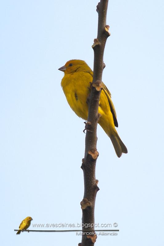 Jilguero dorado (Saffron-yellow Finch) Sicalis flaveola