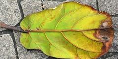 Rubber Tree Leaf (3)