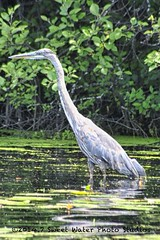Crane in lake 7282 - Uploads from NorthernMinnesotaPhoto - sweetwaterphotoonline.com
