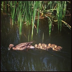 Just another mama. #duck #water #minnesota