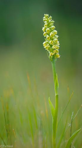 austria österreich orchids location steiermark präbichl vordernberg leobenumgebung