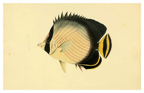 005- Cheetodon Vagabundus-A selection … the fishes …of Ceylon-1834 John B. Whitchurch