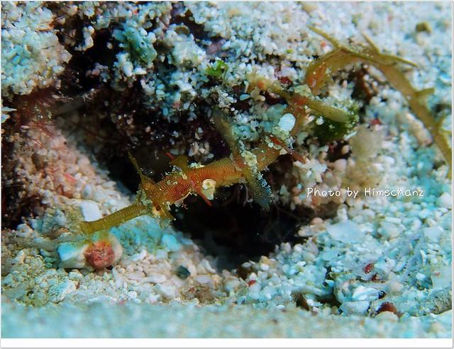 タツウミヤッコ幼魚はまだいてくれました。