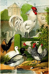 """Image from page 84 of """"Beeton's book of poultry and domestic animals: showing how to rear and manage them, in sickness and in health"""" (1870)"""