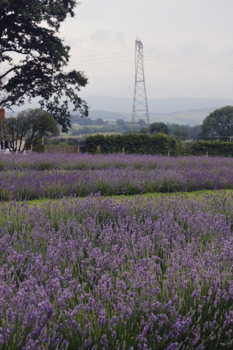 Wexford Lavender Farm | Co  Wexford | The Art of Exploring