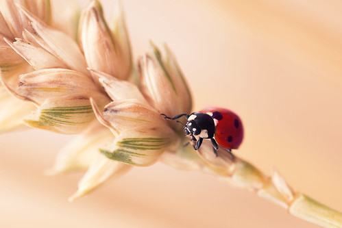red alex nature field horizontal project insect outside outdoors photography design northampton graphics natural wheat july ladybird ladybug weekly 52 ashby 2014 mears photoaweek p52 sywell alexandrou rapidrat