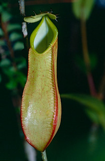 Pitcher Plant (Nepenthes tentaculata)
