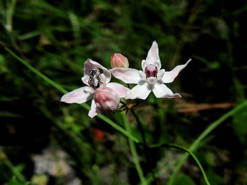 Florida milkweed, Asclepias feayi