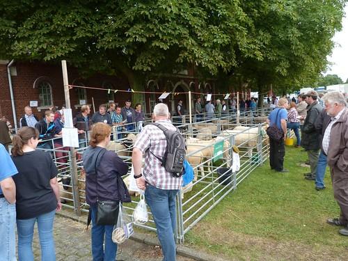 Schafe zur Auktion