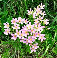 annual plant(1.0), flower(1.0), plant(1.0), centaurium(1.0), wildflower(1.0), flora(1.0),