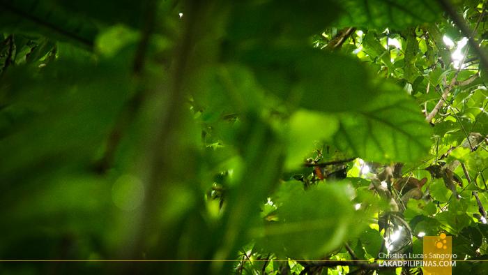 A Hiding Tarsier at the Philippine Tarsier & Wildlife Sanctuary in Bohol