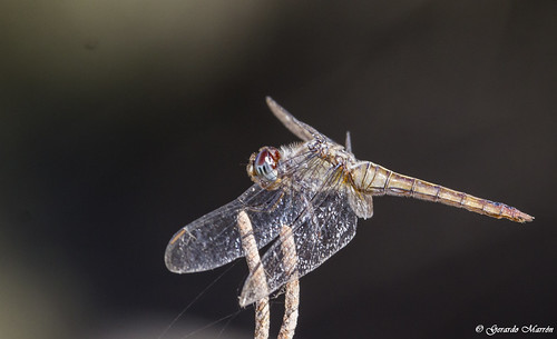 Brachymesia furcata