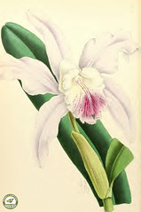Cattleya dominiana alba. The first Cattlya hybrid, it honors John Dominy, the first man to hybridize orchids from seeds. The Floral Magazine v.6 1867