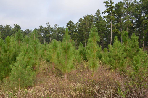 Longleaf pine restoration continues on the Winston 8 Ranch.