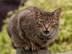 tabby cat(0.0), toyger(0.0), savannah(0.0), european shorthair(0.0), pixie-bob(0.0), puma(0.0), rusty-spotted cat(0.0), ocicat(0.0), wildlife(0.0), animal(1.0), small to medium-sized cats(1.0), pet(1.0), mammal(1.0), fauna(1.0), close-up(1.0), cat(1.0), wild cat(1.0), whiskers(1.0), bobcat(1.0), domestic short-haired cat(1.0),