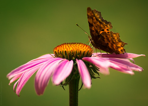Echinacea Purpurea and the Butterfly // 28 07 14