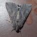 Melipotis jucunda, merry melipotis moth 2