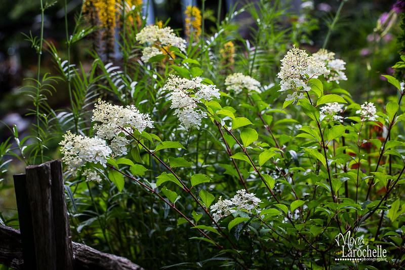 Hydrangea paniculata Vanille et Fraise ( Vanilla Strawberry ) - Page 2 14832679620_6794729310_c