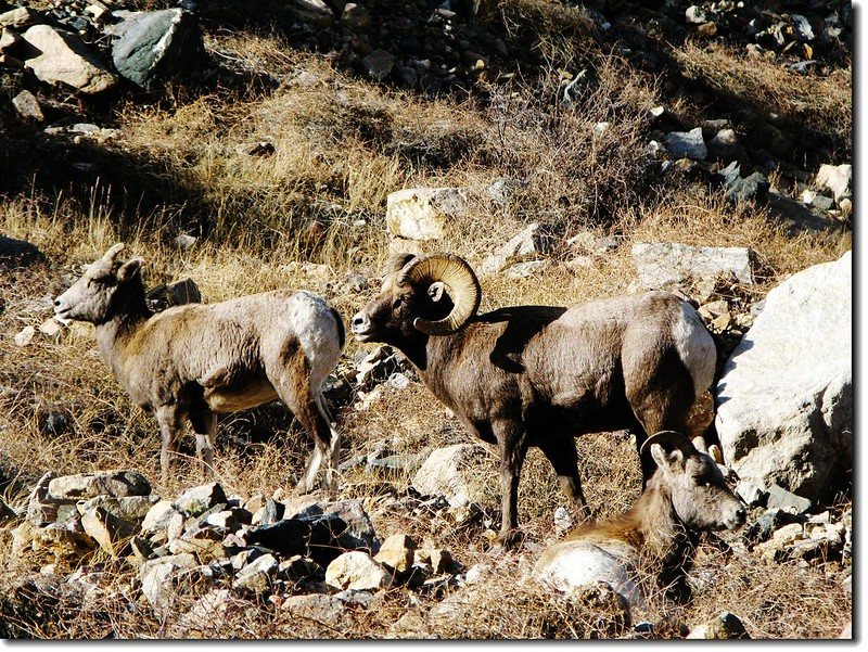 Bighorn Sheep in Georgetown 5