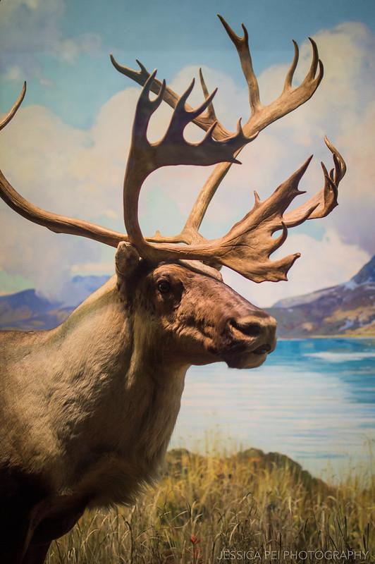 moose american museum natural history