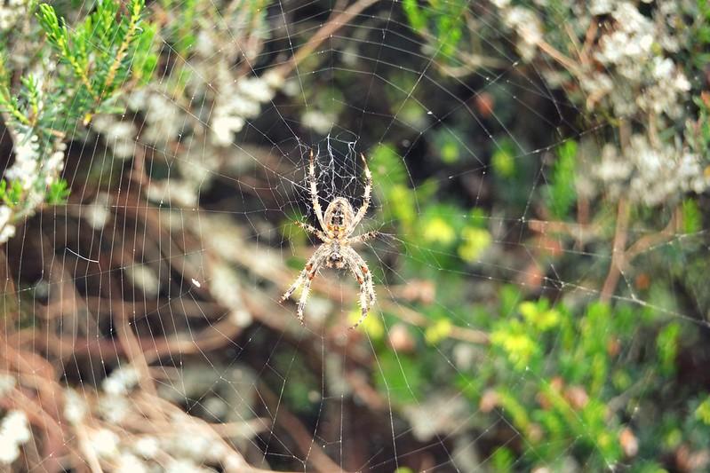 amiga araña
