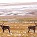 Two Caribou, Dalton Highway by alankrakauer