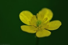 Hispid Buttercup #2