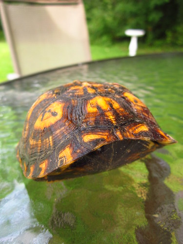 Eastern Box Turtle (Terrapene carolina) #3