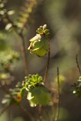 Darwinia sp.