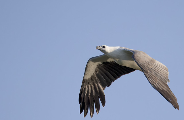 white bellied sea eagle 6