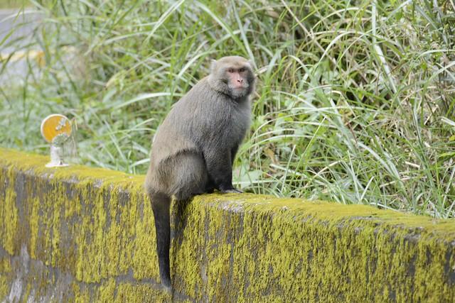 石山服務站附近的台灣獼猴
