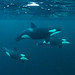 Orcas - Photo by Jan Reyniers