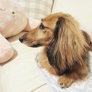#dachshund,  #短足部 , #臘腸狗 , #vscocam