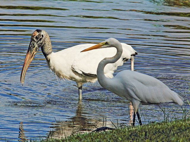 Great Egret and Wood Stork 3-20140912