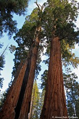 """""""One and a Half Sequoias"""" - Kings Canyon National Park"""