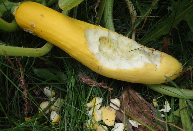 summer squash with a hole eaten out of the top, with chunks of the rind lying nearby