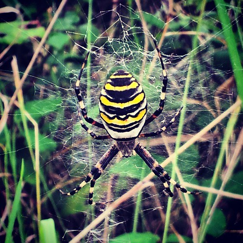 Never seen one of these before, what an absolute beauty! #WaspSpider #Spider